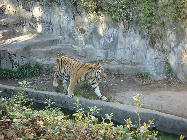 兇猛威武的老虎