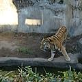 某人說他屬虎的~