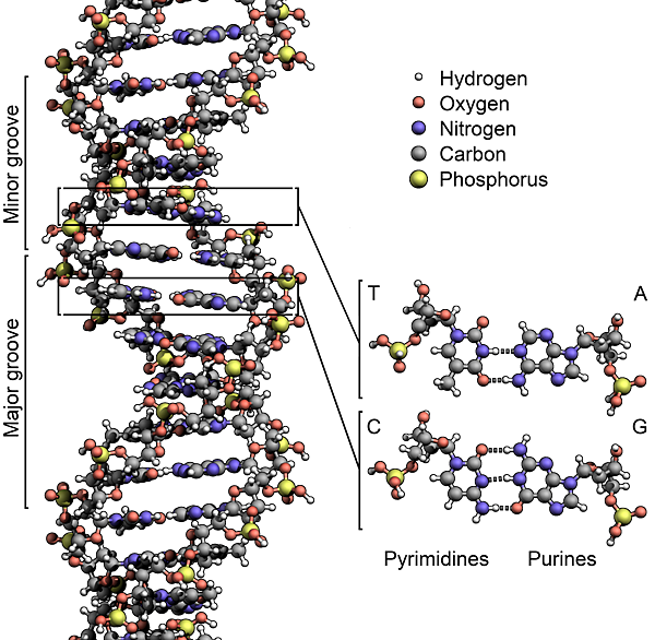 DNA_Structure+Key+Labelled.pn_NoBB