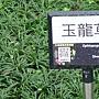 新生 玉龍草.JPG
