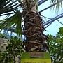 珍稀植物區蒲葵.JPG