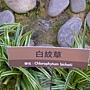 珍稀植物區白紋草.JPG