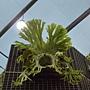 珍稀植物區荷式鹿角蕨.JPG