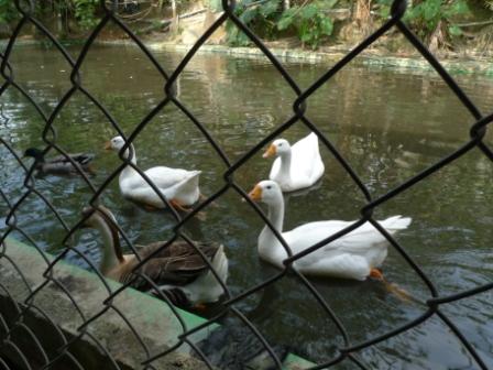 12鵝 - 複製.JPG