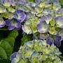 溫帶植物 繡球花.JPG