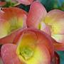 熱帶亞熱帶植物 長壽花.JPG