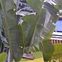 珍稀植物區旅人蕉.JPG