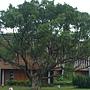 林下花海花圃區扇形老樹.JPG