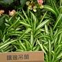 珍稀植物區鑲邊吊蘭.JPG