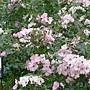新生 粉色玫瑰.JPG