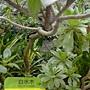 珍稀植物區白水木.JPG
