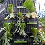 珍稀植物區鹿角蕨家族.JPG