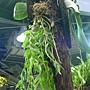 未來館 珍稀植物區石斛蘭屬.JPG