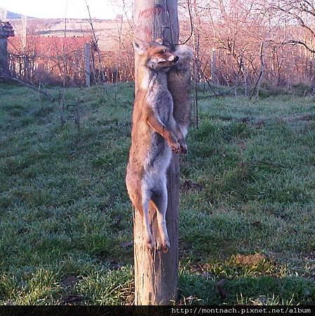 警告狐狸不要來偷雞