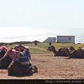 海邊的駱駝
