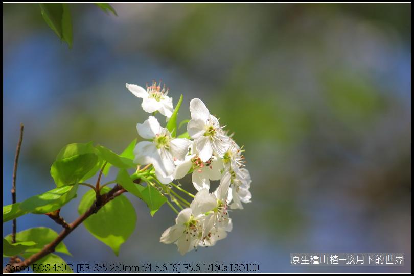 山楂開花_03.JPG