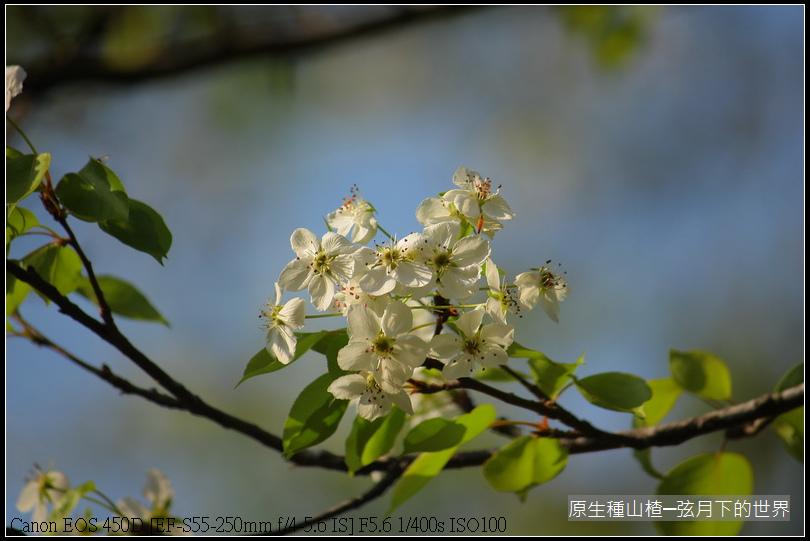 山楂開花_06.JPG