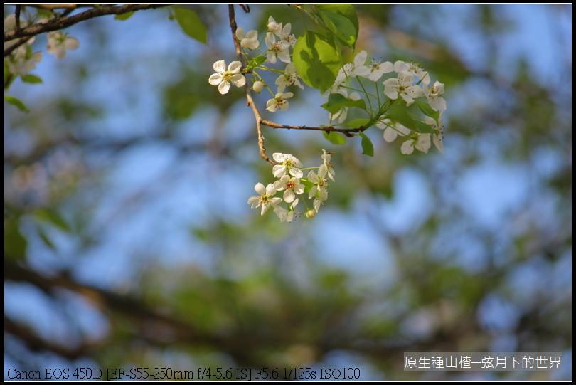 山楂開花_07.JPG