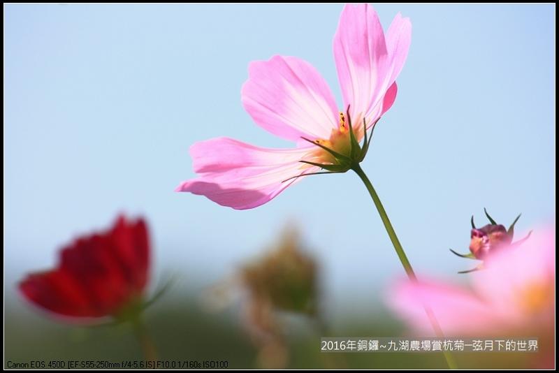 九湖農場杭菊與波斯菊_29.jpg