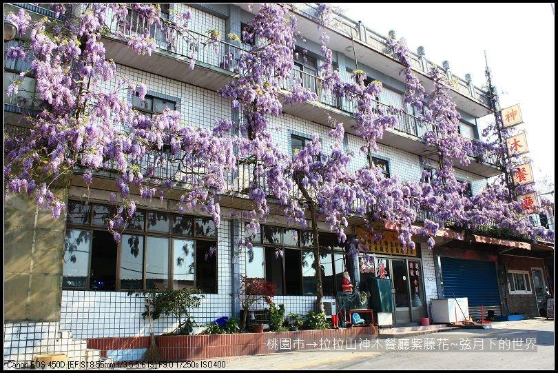 拉拉山神木餐廳紫藤花(3)