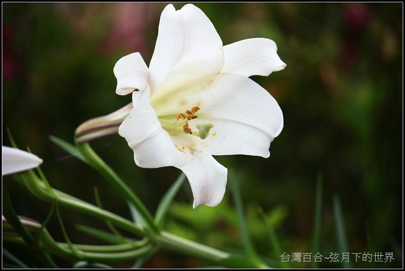 台灣百合24