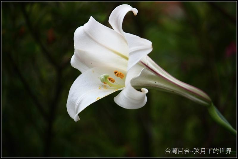 台灣百合25