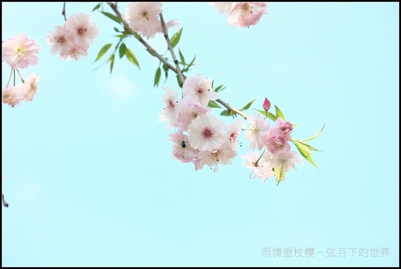雨情垂枝櫻 (15)