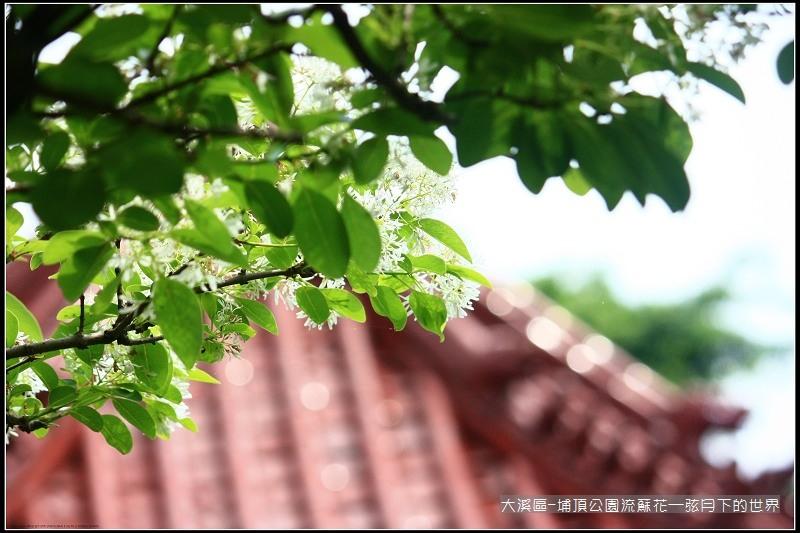 大溪區-埔頂公園流蘇花 (2).jpg