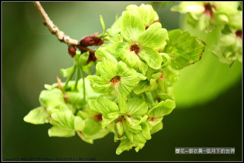櫻花-御衣黃 (27)