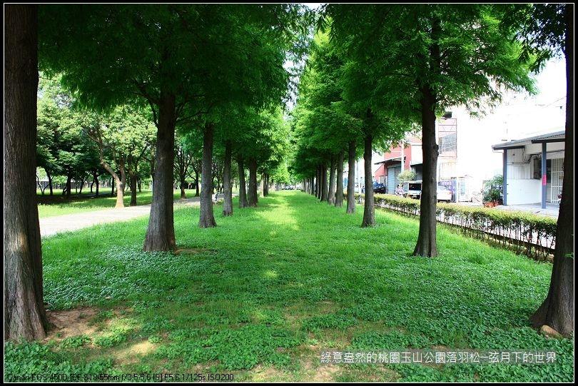 綠意盎然的玉山公園落羽松 (2)