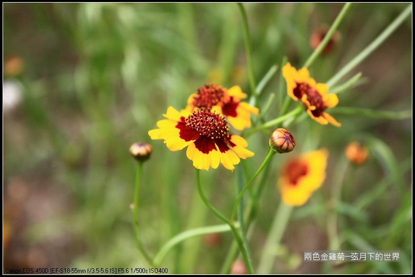 兩色金雞菊 (15)