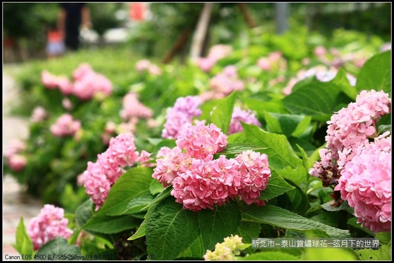 新北市~泰山黎明步道賞繡球花 (41)