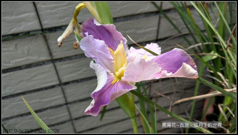 鳶尾花-西施 (6)