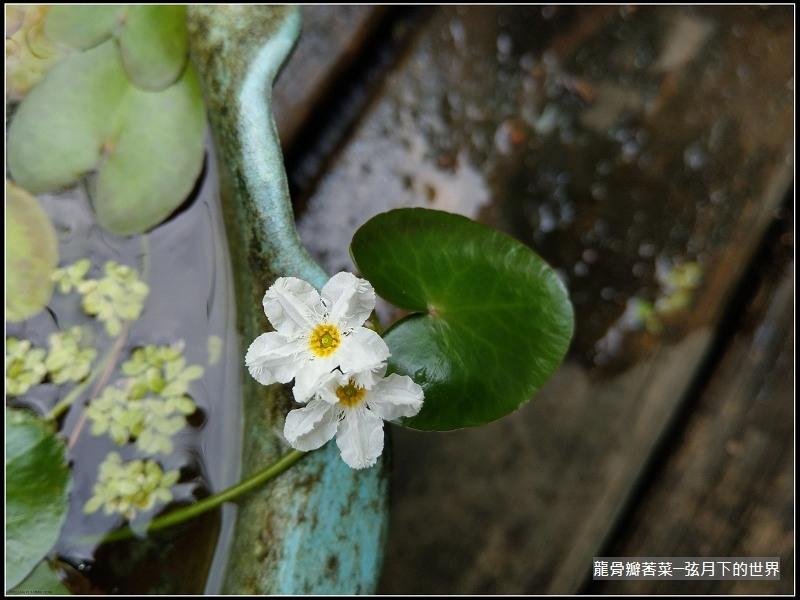 龍骨瓣莕菜 (20)