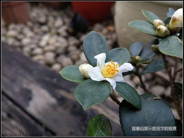 恆春山茶  (6).jpg