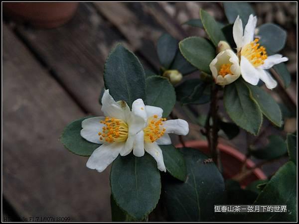 恆春山茶  (10).jpg