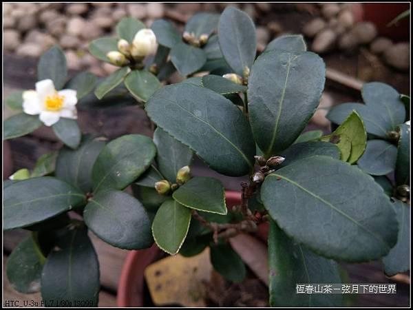 恆春山茶  (8).jpg