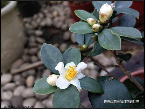 恆春山茶  (7).jpg