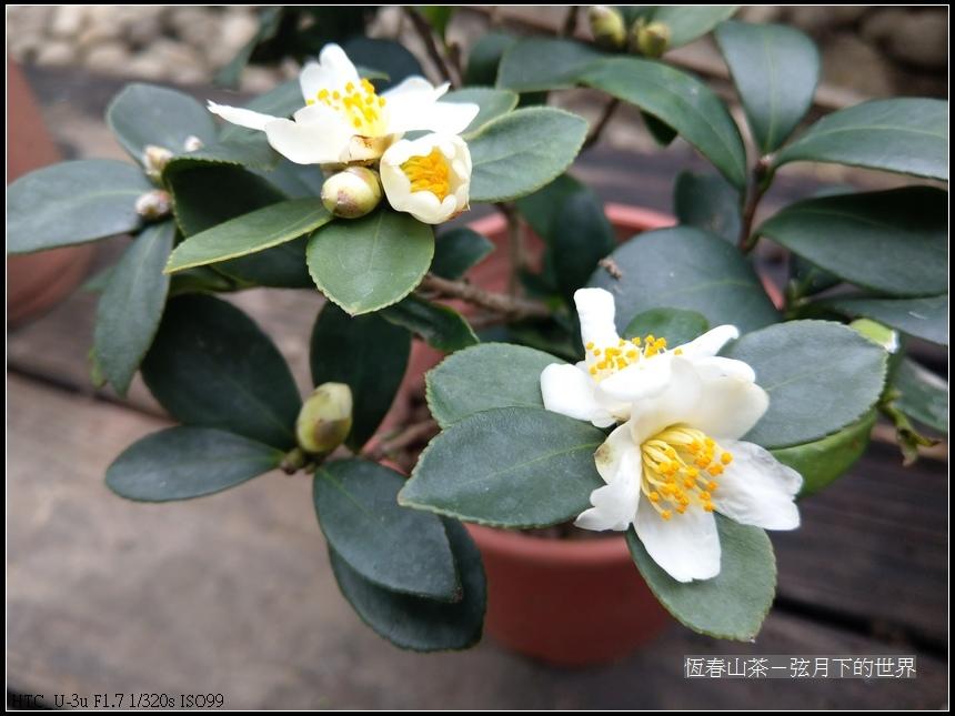 恆春山茶 (12).jpg