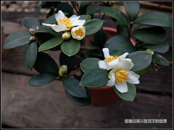 恆春山茶  (14).jpg