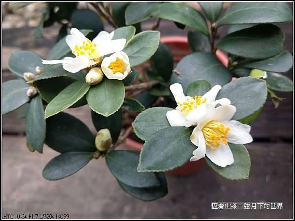 恆春山茶  (11).jpg