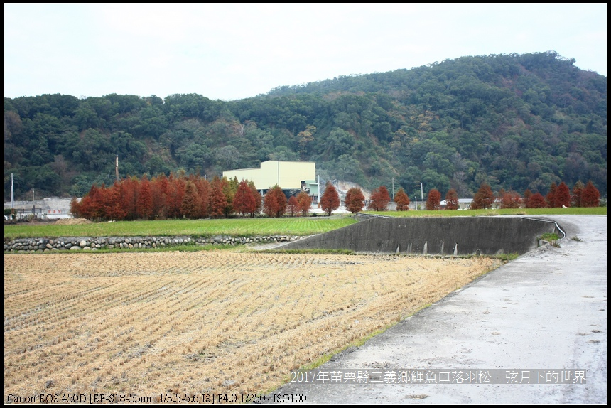 苗栗縣三義鄉鯉魚口落羽松 (29).jpg