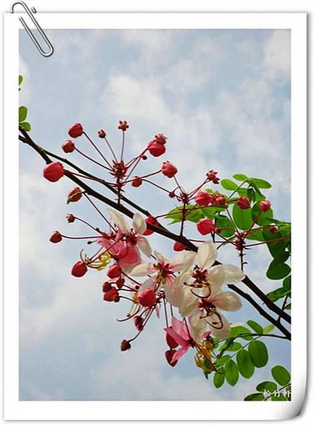 桃紅陣雨樹