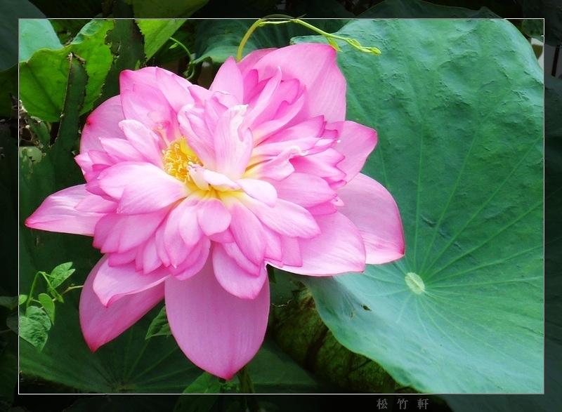 木瓜花 051-1.jpg