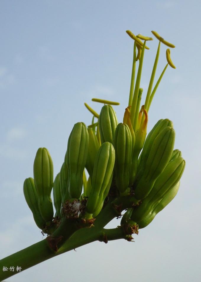 黃邊龍舌蘭