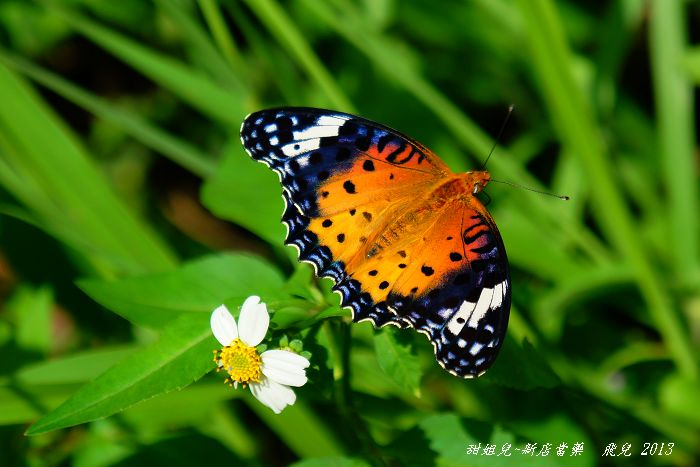 2013-10黑端豹斑蝶雌蝶4