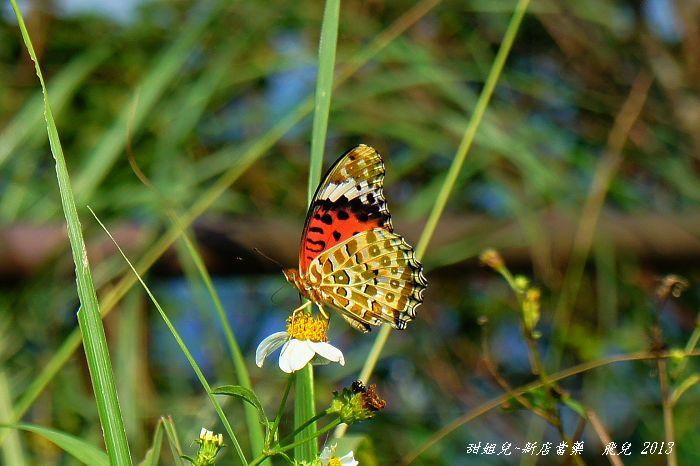 2012-10黑端豹斑蝶雌蝶2