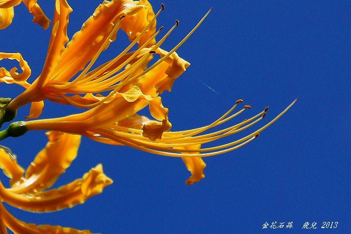 2013-10金花石蒜5