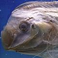 很長的魚,據說是龍空派來警告地震的地震魚