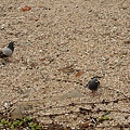 貝殼沙灘上的鴿子